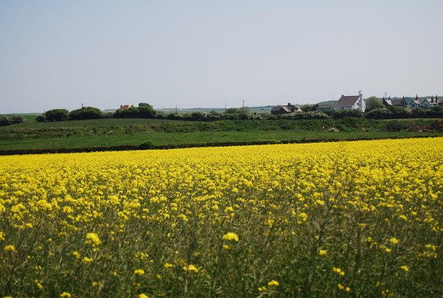Rapeseed north of Flamborough