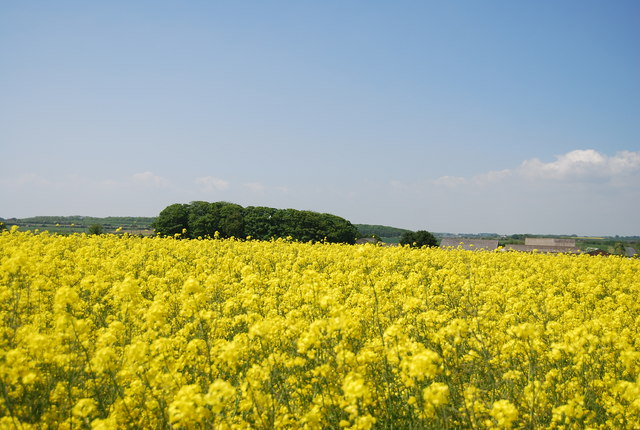 Woodland rising above a sea of rapeseed