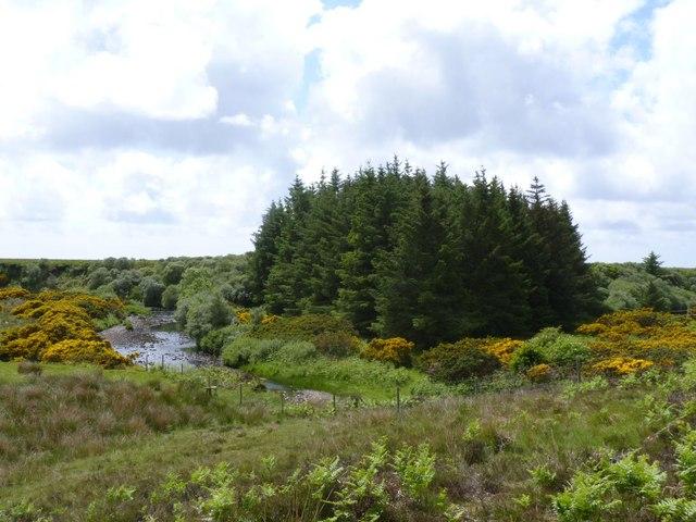 Conifer Plantation by River Laggan, Islay