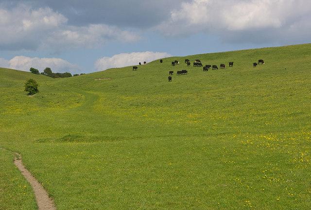 Cattle on the slopes of Knap Hill