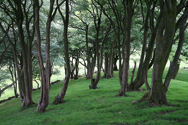 Beech trees on Loudoun Hill