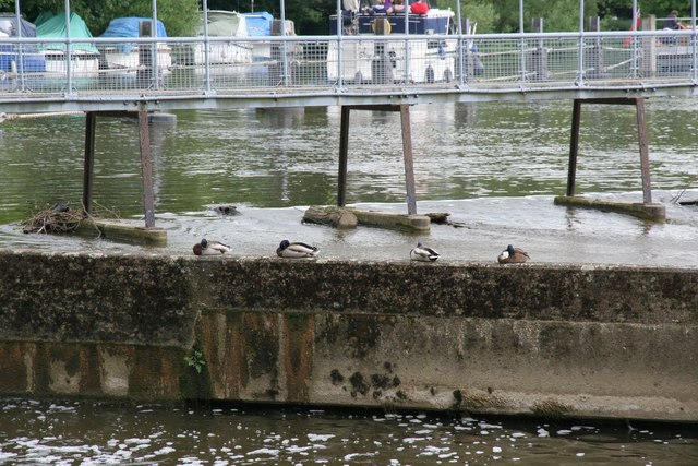 Ducks on the weir