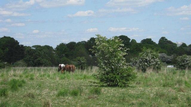 Horses grazing, near Peterbrook