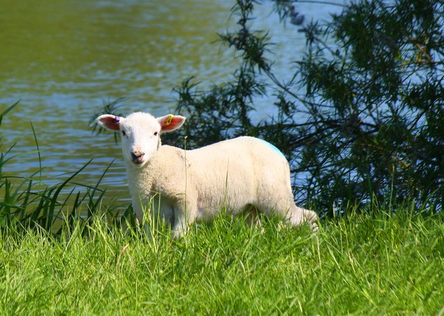A lamb by the Thames