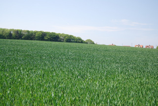 Large wheat field SW of Flamborough