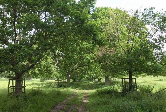 Avenue across Montacute Park
