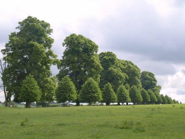 Trees, Montacute Park