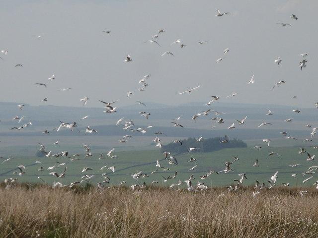 Black headed gulls on Plenmeller Common