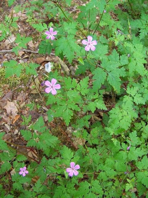 Herb Robert (Geranium robertianum), Harewarren