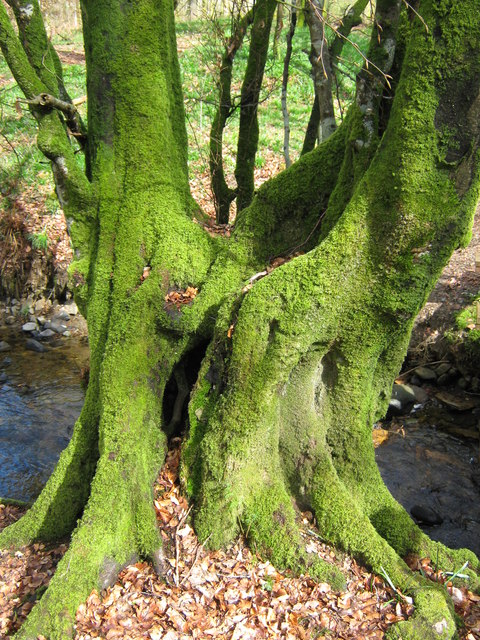 A moss-covered tree