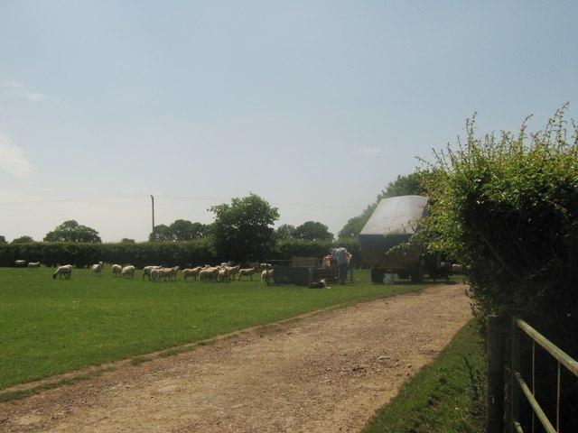 Feeding the Sheep in Hornbrook Farm