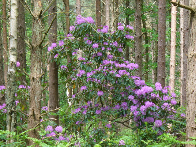 Rhododendrons on Pitch Hill
