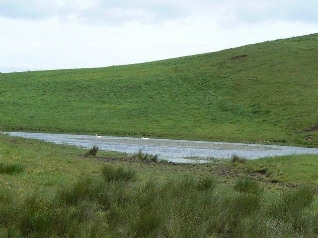Swans on a lochan