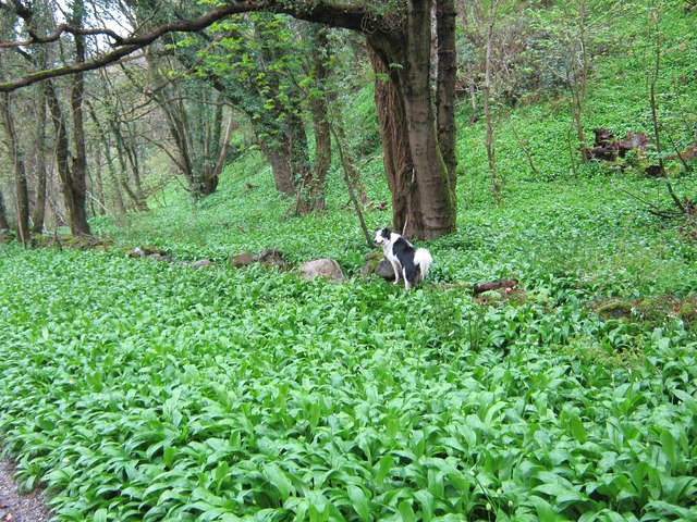 An old wall almost hidden by wild garlic