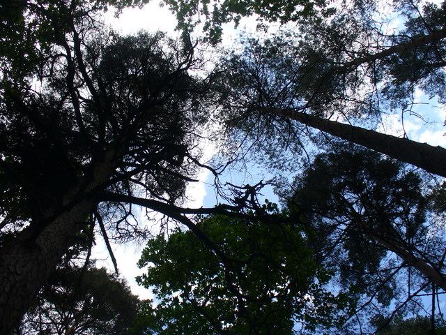 Tall Trees, Hurt Wood