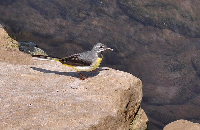 Grey Wagtail - Bridgend
