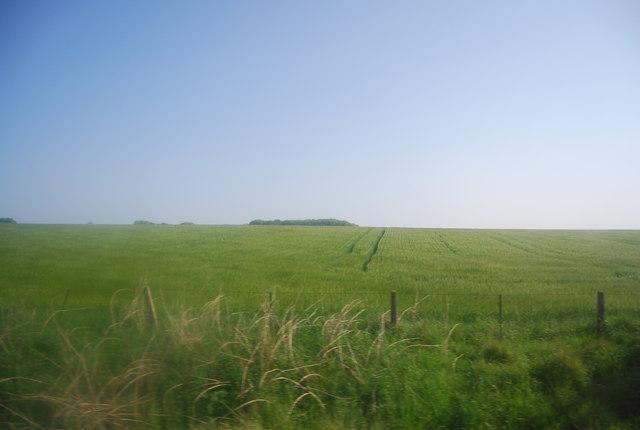 Extensive wheat field