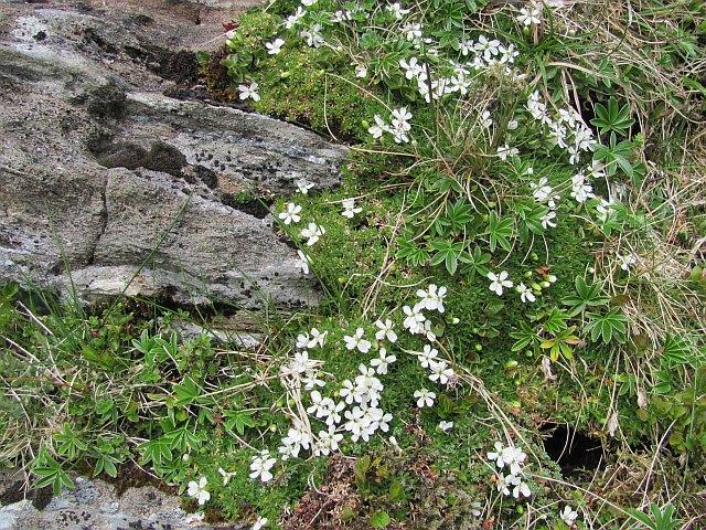 Flowers, a crag east of Sgiath Chùil