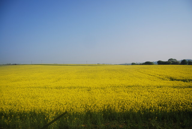 Rapeseed crop near Muston Cottage Farm
