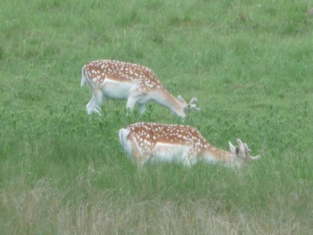 Stock Gaylard: deer graze
