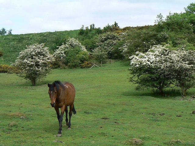 Horse among the hawthorns