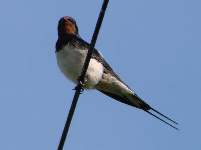 Swallow.