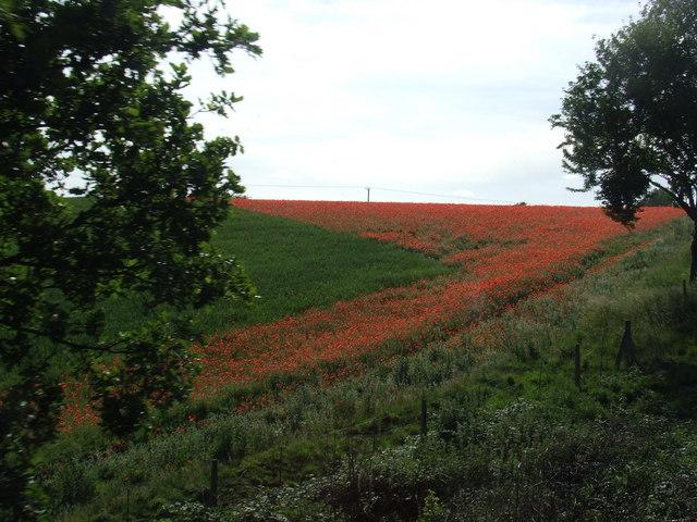 Poppy field near Bewdley
