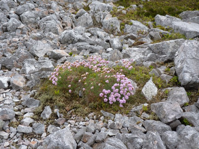 Thrift on summit of Beinn Uraraidh, Islay