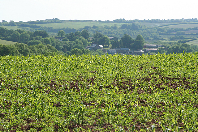 Stoodleigh: maize crop