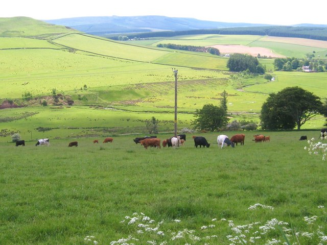Cattle grazing at Broomhills
