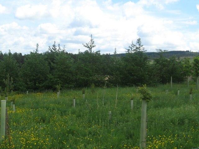 New plantation near Westerhouse Farm