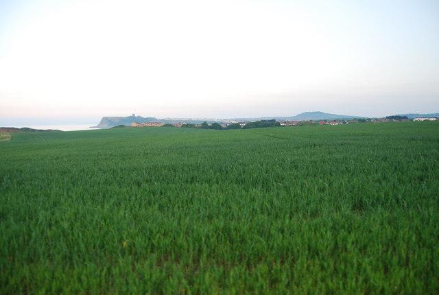 Wheat fields near Scalby Ness