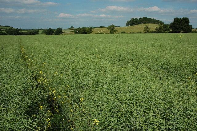Footpath through an oil seed rape crop