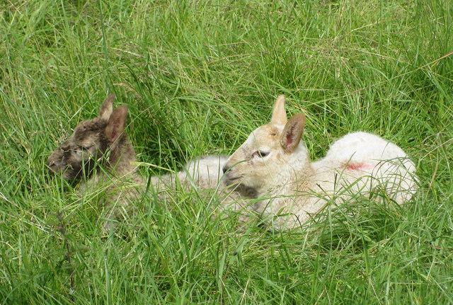 Late lambs