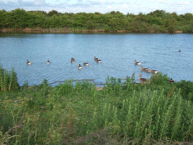 Geese at Shepherd's Port, Snettisham