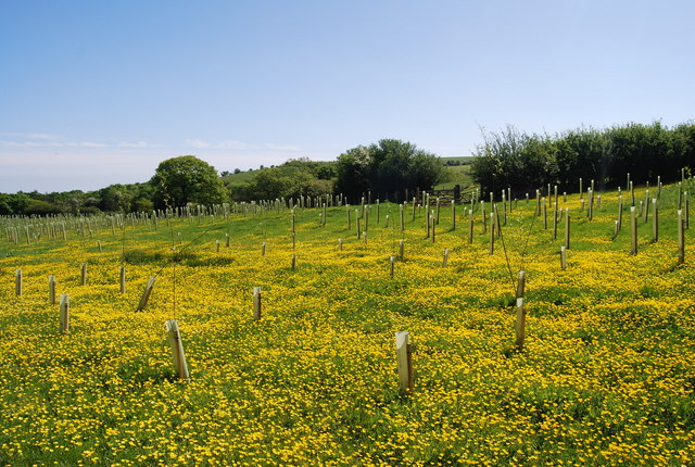New plantings and Buttercups, Harry's Folly