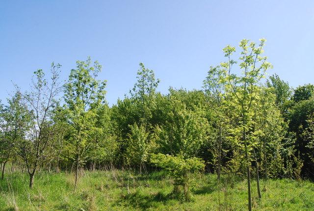 Young trees, Harry's Folly