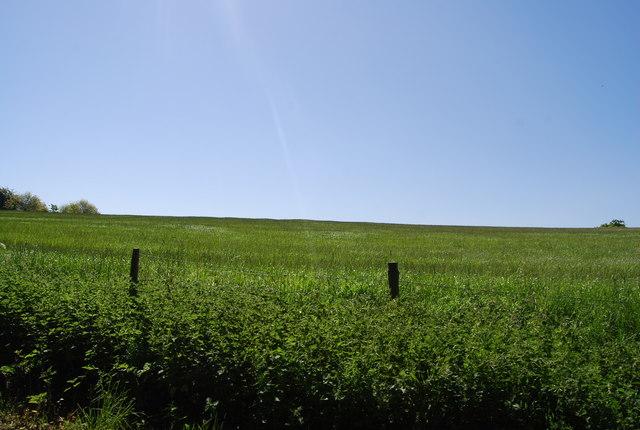 Wheat, Bridge Holm Lane