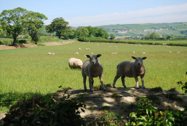 Inquisitive lambs, Fyling Old Hall Farm