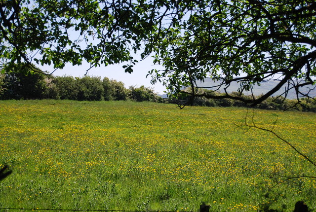 Buttercup meadow, Middlewood Lane