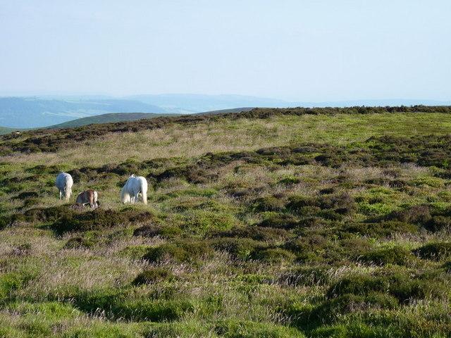 Horses grazing on Long Synalds