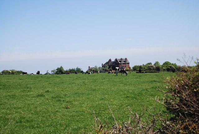 Cattle grazing near Robin Hood's Bay