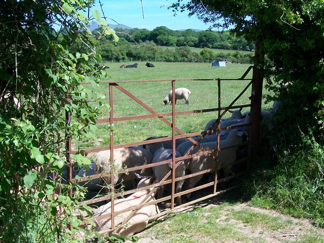 Sheep sheltering from the mid-day sun off the Llannerch road.