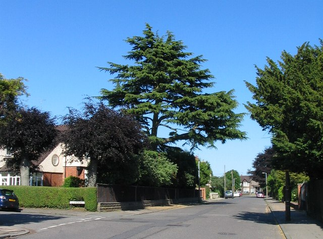 Cedar tree, Rochester Road