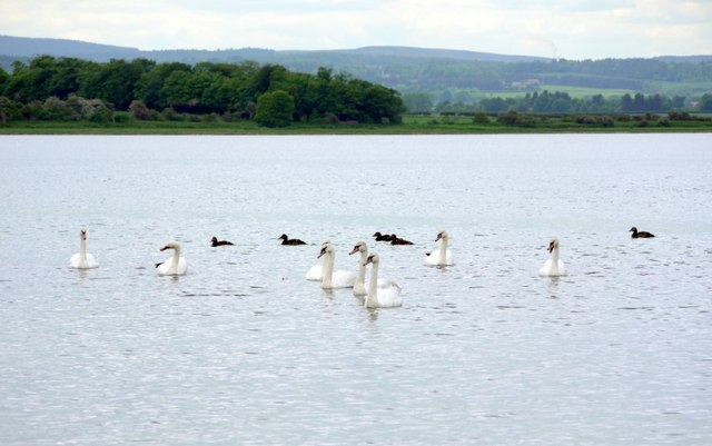 Swans and eider ducks, Budle Bay