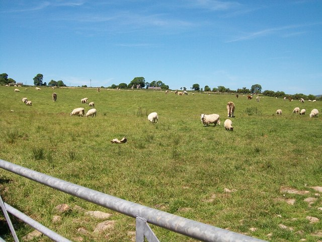 Grazing cattle and sheep on Brynhynog land