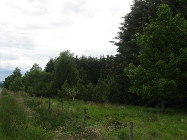 Roadside forest near Stripend