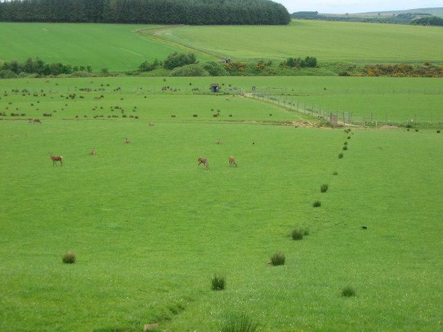 Deer grazing peacefully