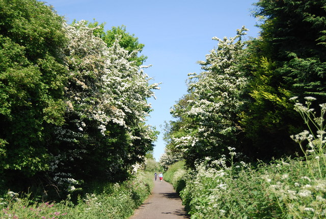 Hawthorn blossom by the old railway line