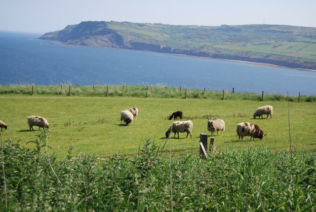 Sheep grazing on the cliff top outside Robin Hood's Bay